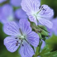 Buy perennials and biennials for autumn planting from Sarah Raven: Plant these perennial and biennial plants in your garden and they will look good for months. Perennial Geranium, Hardy Geranium, All Plants, Garden Plants, Potted Plants, Geranium Pratense, Container Gardening Vegetables, Succulent Containers, Container Flowers