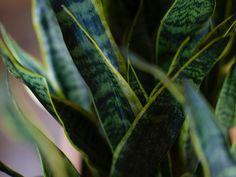 Snake Plant Care Guide   Fiddle & Thorn Garden Planters, Indoor Garden, Indoor Plants, Snake Plant Care, Yellow Snake, Comment Planter, Fiddle Leaf Fig Tree, Cigar Room, Potting Soil
