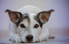 7 Easiest Dog Breeds to Own and Owner's Checklist - Cute Dogs Chien Jack Russel, Pet Dogs, Dogs And Puppies, Easiest Dogs To Train, Dog Training Tips, Training Exercises, Training Classes, Training Online, Training Kit