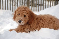 Goldendoodle puppy in snow