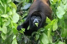 tortuguero national park attraction howler   - Costa Rica