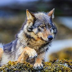 Photograph by @paulnicklen for @natgeo.  A female wolf patiently waits in the intertidal zone on a remote offshore island in #BritishColumbia.  She is waiting for the tide to go down where she will then dine on seafood.  There actually is a species of wolf where over 80% of their diet is comprised of marine life.  In the next couple of weeks our story on these coastal wolves of BC will be appearing in @natgeo magazine .please stay tuned. Please #follow me and see a lot more on @paulnicklen…