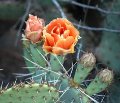 Texas State Plant:  Prickly pear cactus
