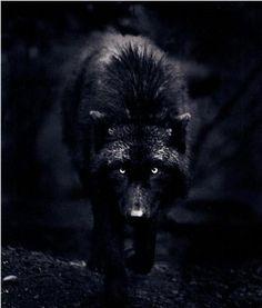 Si le loup y était...