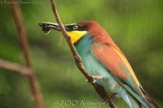Europese bijeneter - Merops apiaster - European bee-eater | by MrTDiddy