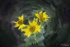 Caleidoscopio #artflowers #yellowflowers #nature #colours #contrast #lensbaby #lovenature #loveflower #art #flowers