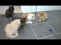 Persian Kittens Playing with Bug Robot Is The Cutest Thing You'll See Today - 9GAG.tv