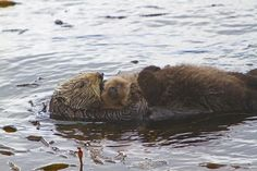 Sea otter pups can't swim at birth, so they are born with a coat that helps them float. Moms carry their floating pups on their stomach, where they also care for their young; feeding, grooming and teaching them. River Otter, Sea Otter, Baby Animals, Cute Animals, Animal Babies, Otter Pup, Sea Cow, Baby Seal, Baby Otters