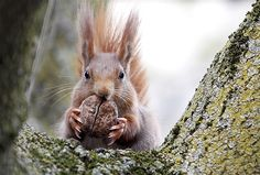 Image: A red squirrel sits in a tree as it holds a walnut in Frankfurt, Germany, on April 19 (© Lisi Niesner/Reuters)