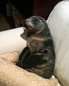 Baby Seal Enters House and Naps on Couch - ABC News