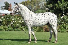 black leopard - Knabstrupper (Sport type) stallion Moenchshof's Ratz-Fatz