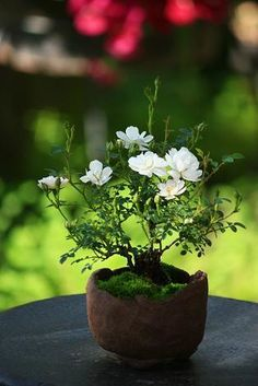 Wondering How Bonsai Trees Are Made? Mini Bonsai, Garden Terrarium, Bonsai Garden, Mini Plants, Indoor Plants, Ikebana, Bonsai Plante, Bonsai Art, Small Trees