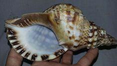 TRITON SEASHEL Trumpet SHELL TRITNS SHELLS Sea SEASHELLS ATLANTIC Natural 7.9inh