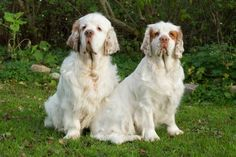 Clumber Spaniel dog breed information with pictures. Description of Clumber Spaniel. Interesting facts and breed history. Clumber Spaniel dog breed description and characteristics Source by… Clumber Spaniel Puppy, Spaniel Puppies, Dogs And Puppies, Dog Breeds Pictures, Dog Pictures, Small Dog Breeds, Small Dogs, Newcastle, Small Dog Tattoos