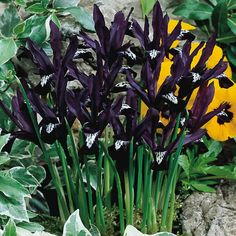Buy spring and summer iris bulbs at J Parkers. We have a selection of Spring And Summer Iris bulbs, including the most popular colours and sizes. Dark Flowers, Iris Flowers, Colorful Flowers, Purple Flowers, Iris Reticulata, Dwarf Iris, Early Spring Flowers, Gothic Garden, Purple Garden