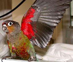 HI THERE!!  Crimson-bellied Conure