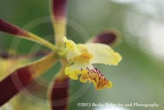 Encyclia Ambigua Orchid Fine Art Photo Print by BeckyTylerArt, $20.00