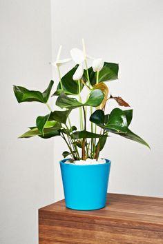 """Flamingoblume """"Schneewittchen"""" Bonsai, Planter Pots, Wilde, Green, Gardening, Friends, Hydroponics, Snow White Pictures, Flowering Plants"""