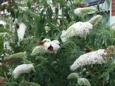 vlinderstruik wit - Google zoeken