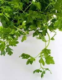 How to care for and grow Parsley: Parsley is a heavy feeder and will appreciate a monthly feed of an organic liquid fertiliser such as seaweed. Keep the area free from weeds and water regularly in dry periods.    Harvesting Parsley Simply cut the leaves with scissors, taking care not to remove all of the leaves (this will hamper the plant's growth).