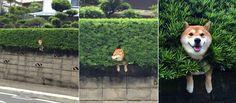 推主放學回家時發現路旁的灌木叢中,開出了一朵蠢萌的蠢柴。 為甚麼牠們總是莫名地開在牆上和草叢中d(d'∀')
