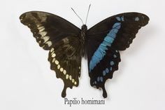 The Horiman's Swallowtail Butterfly from Africa, Papilio hornimani, photograph by Darrell Gulin
