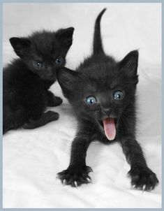 Is there really any reason we shouldn't have a black cat? History hasn't always been favorable to this feline but we can give our love to them. Cute Cats And Kittens, Cool Cats, Kittens Cutest, Funny Kittens, Ragdoll Kittens, Tabby Cats, Bengal Cats, Kitty Cats, Beautiful Cats