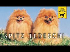 SPITZ TEDESCO trailer documenario (Pomerania) - http://www.baubaunews.com/bau-blog/spitz-tedesco-trailer-documenario-pomerania/ http://img.youtube.com/vi/1SDS7pB4qP0/0.jpg
