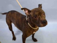 SUPER URGENT Manhattan Center PORCHA – A1100550  FEMALE, BR BRINDLE / WHITE, AM PIT BULL TER MIX, 10 yrs OWNER SUR – EVALUATE, NO HOLD Reason LLORDNYCHA Intake condition EXAM REQ Intake Date 12/27/2016, From NY 10026, DueOut Date 12/27/2016, I came in with Group/Litter #K16-085126.