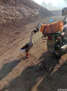 This touching photo of two geese saying goodbye has reached more than 12 million people on the popular Chinese social media site Weibo. Once you've heard their story, it's easy to understand why it's making people cry.-PLEASE WATCH THIS LITTLE VIDEO