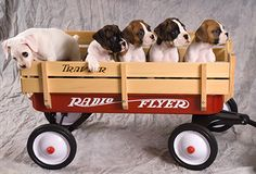 The Box Puppies of Summer Boxers, Canada: Izzy, Tika, Cari, Gunnar & Polly Jean (photo by Mark & Leslie Degner)