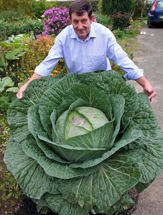 Cheap Bonsai, Buy Directly from China Seeds Rare Giant Russian Cabbage Seeds, High-Quality Vegetable vegetable seeds germinatio Planting Vegetables, Organic Vegetables, Funny Vegetables, Vegetable Gardening, Garden Seeds, Planting Seeds, Fruit And Veg, Fruits And Veggies, Cabbage Seeds