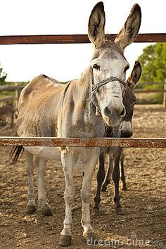 Photo about Two donkeys on a farm. Image of rural, donkeys, metal - 21926481 Farm Animals, Animals And Pets, Cute Animals, Cute Donkey, Future Farms, Horse Breeds, Zebras, Four Legged, Beautiful Creatures