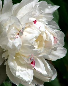 White Peony. I have this I my garden. Love it.