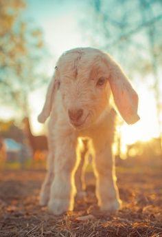 #baby #lamb #sheep