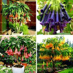 100pcs Bonsai flower Brugmansia Datura Seeds Rare Flower Seeds Potted Plants Angel's Trumpets Bonsai Seed For Home Garden