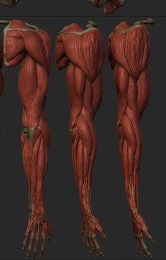 남자 팔 뼈대 해부도 근육 단계 위치 살 팔 근육 붙이기