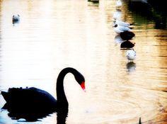 Black swan in a parisian park via thewildfleur.com
