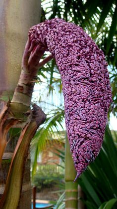 Palm inflorescence opening.