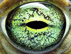 Green Toad Eye!!
