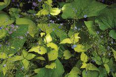 Guide to Growing Brunnera - FineGardening Spring Flowers, Blue Flowers, Wooded Landscaping, Fine Gardening, Seed Starting, Cool Plants, Spring Garden, Garden Supplies, Shade Garden