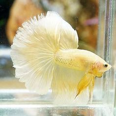 Live Betta Fish Male Fancy Marbled Yellow Butterfly Halfmoon HM