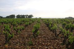 Old vine grenache in the stony vineyards of Chante Cigale, Châteauneuf-du-Pape