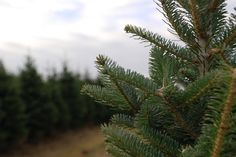 Tree Fact: Fraser Firs are known for having soft needles and strong straight branches perfect for heavy ornaments making it a pleasure to decorate! Ornaments Making, How To Make Ornaments, Fresh Cut Christmas Trees, Fraser Fir, Firs, Branches, Christmas Decorations, Strong, Plants