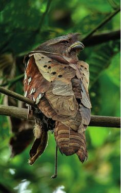 Discover ideas about Exotic Birds. Dulit Frogmouth (Batrachostomus harterti) endemic to the Mountain Forests of northern and . All Birds, Birds Of Prey, Love Birds, Pretty Birds, Beautiful Birds, Animals Beautiful, Nature Animals, Animals And Pets, Cute Animals