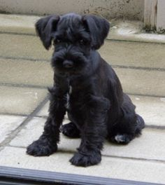 The traits we all admire about the Fun Miniature Schnauzer Puppies Schnauzer Breed, Schnauzer Grooming, Standard Schnauzer, Miniature Schnauzer Puppies, Schnauzer Puppy, Dumb Dogs, Silly Dogs, Cute Puppies, Dogs And Puppies