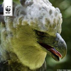 Kennt ihr schon die Harpyie? Harpyien sind wohl die stärksten Greifvögel überhaupt – was vor allem für die Weibchen gilt, die fast doppelt so groß wie die Männchen werden können: Bis zu zwei Metern Spannweite, neun Kilogramm Gewicht und bis zu sieben Zentimeter lange Krallen!