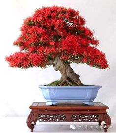 Such a stunning Bonsai tree. Old gnarly trunk and beautiful flowers, and the pot contrasts the colors in a unique way. Photo by Ming Ty. Do you like it? #bonsai #bonsaitree #japan #nature #art
