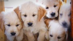 Look at this adorable litter of golden retriever puppies completely befuddled by sticky ice cubes. Description from rover.com. I searched for this on bing.com/images