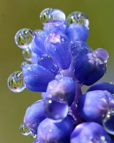 <3 Refraction - Grape Hyacinth and Red Tulip within dew drops, so cool.